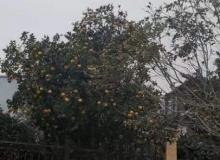 橘子挂满枝头,一道亮丽的风景线,这样的庭