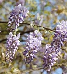 沔阳公园的紫藤花 太美了
