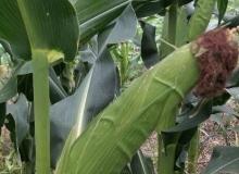 看到玉米成熟,忆起孩童趣事